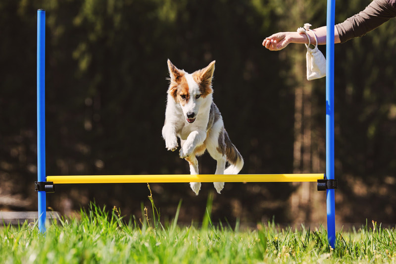 Dog agility training jumping over pole
