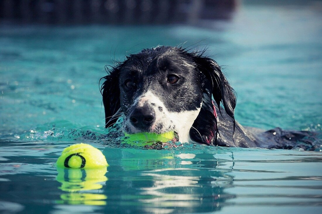 Dog fetching tennis balls in water
